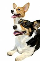 Two Welsh Corgis looking up, white background