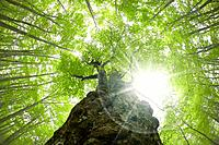 Beech forest, Tsuta_numa, Aomori Prefecture, Japan