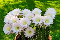 Allergy, Beauty, Bloom, Blossom, Botany, Cactus, Close up, Close_up, Closeup, Color, Colour, Detail, Details, Echinopsis, Ephemeral, Exotic, Flower, F...