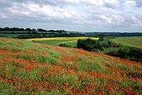 Poppy field near Worsbrough. Fields/ trees behind