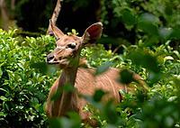african deer