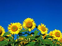 Sunflower field, Hokkaido, Japan