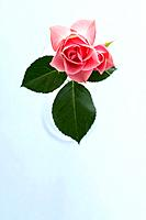 Vase of pink rose, white background
