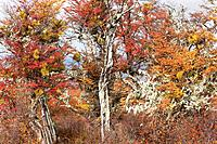 Detail of beech trees in full autumn colours, with Spanish moss and mistletoe, Southern Chile, Patagonia