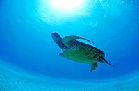 Sea turtle swimming in water, Hawaii, USA