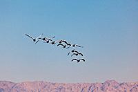 American white pelican flock in flight.