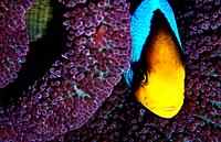 The Clark´s Anemonefish or the Yellowtail clownfish is found in tropical environments including the Pacific Ocean and Indian Ocean.