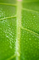 Tropical Green leaf