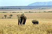 Mother and infant elephants, Loxodonta africana, in Kenya.