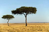 Acacia trees in the Maasai Mara National Reserve, Kenya.