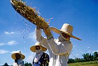 Group of women working,harvesting crop. Hats,protective masks. Winnowing rice. Grains falling