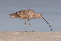 Long-billed Curlew (Numenius americanus) with a Hermit Crab at Fort Desoto Park, Tierra Verde, Florida, USA