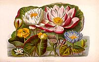 Water lily flowers. Several different species from the Nymphaeaceae family are shown here. Artwork from Volume 1 of the 1868 edition of ´Illustrations...