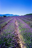 Flowering lavender field, Provence, France
