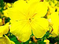 gelbe klebblattblume