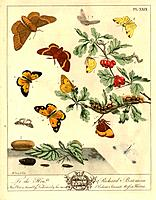 Great eggar moth family Lasiocampidae. Illustration from ´The Aurelian: or, Natural History of Insects, Namely Moths and Butterflies together. Togethe...