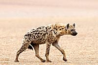 Spotted hyena Crocuta crocuta walking in an arid desert region. This is the largest and most powerful of all the hyenas. It lives alone or in family g...