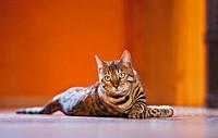 Bengal cat _ lying