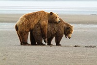 Copulating Grizzly Bears, Katmai National Park, Alaska, USA