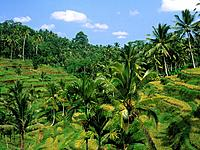 The rice crop growing on narrow terraces on a steep hillside in a gorge,and tall green lush palm trees and vegetation,in a very fertile area.