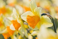 Close_up of orange daffodils