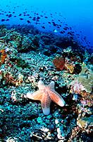 Found in the Indo_pacific ocean the Cushion Star Choriaster granulatus feeds on lgae and detritus and occurs on rubble slopes and on coral reefs. It i...