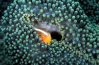 Underwater at Mike´s Point in Manado. An orange anemonefish Amphiprion samdaracinos.