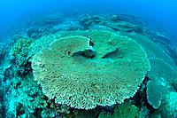 Large table coral,Rhoda Wall dive site,Christmas Island,Australia