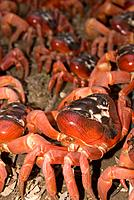 Red crab,Gecarcoidea natalis,breed successfully on Christmas Island.