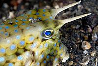 Longhorn cowfish,lactoria cornuta,a native of Lembeh Island´s warm seas.