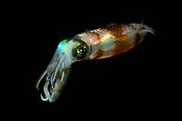 Reef Squid at Night, Sepioteuthis lessoniana, Lembeh Strait, Sulawesi, Indonesia