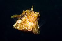 Longhorn Boxfish, Lactoria cornuta, Lembeh Strait, Sulawesi, Indonesia