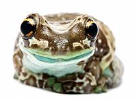 Amazon Milk Frog _ Trachycephalus resinifictrix also know as Mission golden_eyed tree frog or blue milk frog