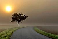 Single track road tree with morning mist, Marktheidenfeld, Spessart, Franconia, Bavaria, Germany
