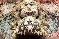 Papuan Scorpionfish, Scorpaenopsis papuensis, Cenderawashi Bay, West Papua, Indonesia