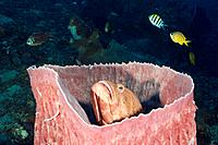 Grouper inside Barrel Sponge, Cephalopholis sp., Xestospongia testudinaria, Amed, Bali, Indonesia