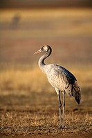 Common Crane Grus grus in the wildlife reserve of Gallocanta. Aragon. Spain
