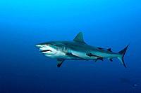 Grey Reef Shark, Carcharhinus amblyrhynchos, Nagali, Fiji