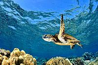 Juvenile Green Sea Turtle, Chelonia mydas, Molokini Crater, Maui, Hawaii, USA