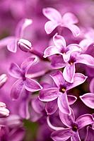 Beauty in nature _ Purple Lilac