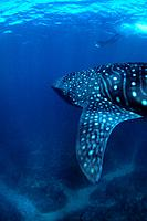 Snorkeler and Whale Shark, Rhincodon typus, Ningalo Reef, Indian Ocean, Australia