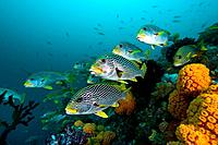 Shoal of Diagonal_banded Sweetlips, Plectorhinchus lineatus, Raja Ampat, West Papua, Indonesia