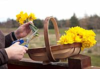 yellow flower being cut and put into a basket, northumberland england