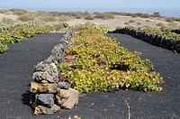 Grapevine at Haria village  Lanzarote, Canary Islands, Spain
