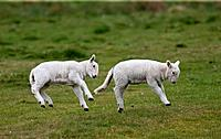 two lambs leaping in the air, northumberland england