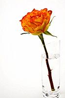 a single rose flower in a glass vase on a white background