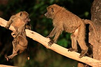 baboon youngsters playing on fallen log