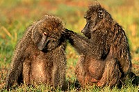 Baboons, Masai Mara National Reserve, Kenya
