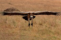 White backed vulture landing, Masai Mara National Reserve, Kenya