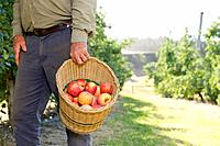 Man carrying basket of apples in orchard